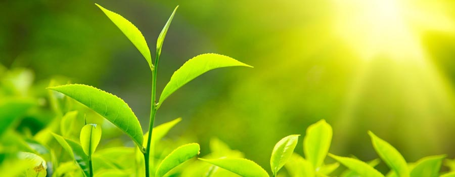 Green tea extract supplement 101
